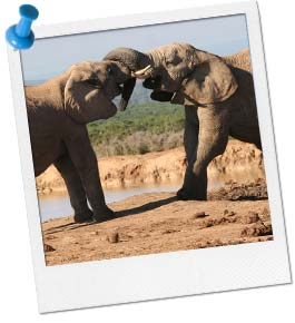 Elephant Tug of War